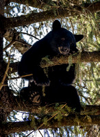 Gallery - Black Bears