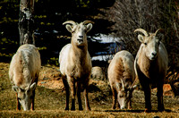 Gallery - Bighorn Sheep
