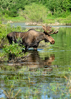 Aquatic Moose