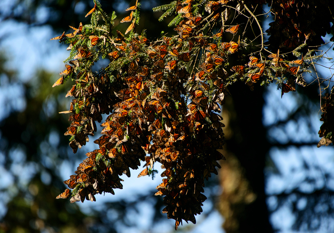 A Butterfly Cluster Hangs On The Branches Of A Fir Tree