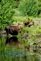 Reflection Moose